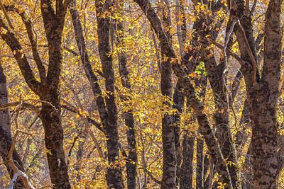 Photograph - Black Oaks by Jonathan Nguyen