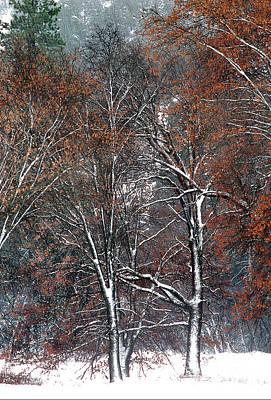 Photograph - Black Oaks Quercus Kellogii California by Dave Welling