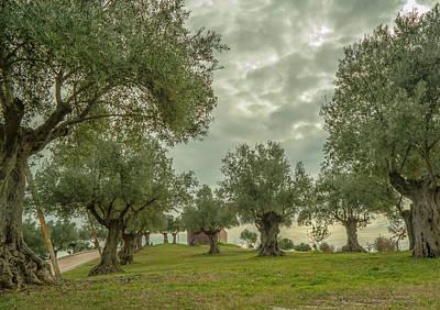 Photograph - Black Olive Tree Grove by Henri Irizarri