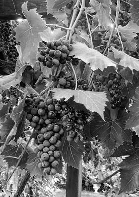 Winemaking Digital Art - Black Or White Grapes by Dorothy Berry-Lound