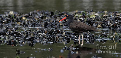 Photograph - Black Oystercatcher Among Mussels by Sue Harper