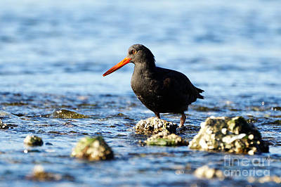 Photograph - Black Oystercatcher Among The Rocks by Sue Harper