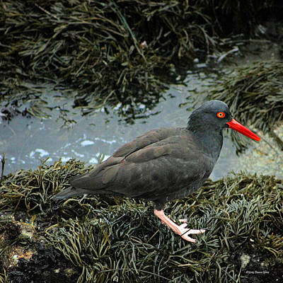 Photograph - Black Oystercatcher by Deana Glenz
