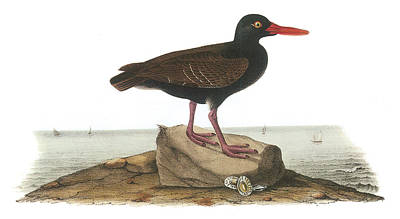 Sea Birds Painting - Black Oystercatcher by John James Audubon