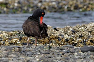 Photograph - Black Oystercatcher Preening by Sue Harper