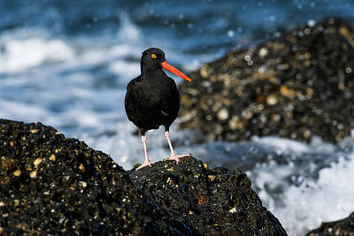 Photograph - Black Oystercatcher by Robert Potts