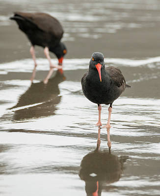 Photograph - Black Oystercatchers by Loree Johnson