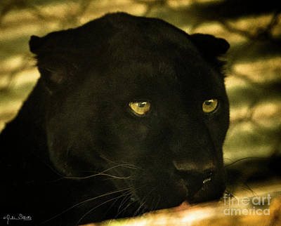 Photograph - Black Panther by Julian Starks