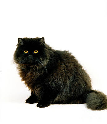 Longhair Cats Photograph - Black Persian Cat by Gerard Lacz