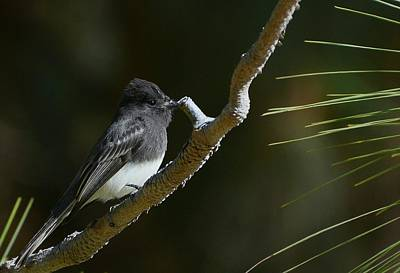 Photograph - Black Phoebe 2 by Fraida Gutovich