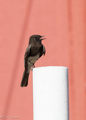 Photograph - Black Phoebe by Dee Carpenter