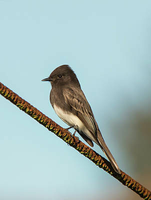 Photograph - Black Phoebe Goes To A Bar by Loree Johnson