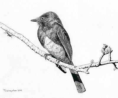 Black Phoebe Art Print