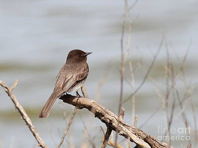 Photograph - Black Phoebe by Wingsdomain Art and Photography