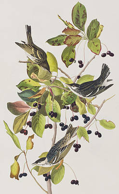 Warbler Painting - Black Poll Warbler by John James Audubon