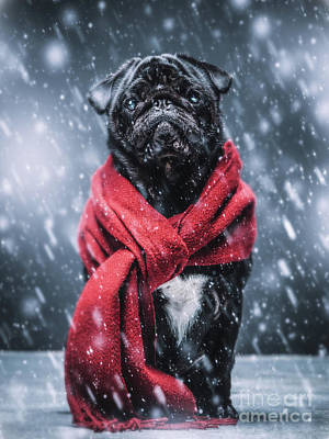Photograph - Black Pug Dog Gazing Sadly In A Winterstorm. by Michal Bednarek