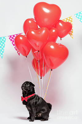 Photograph - Black Pug Dog With Heart-shaped Baloons. by Michal Bednarek