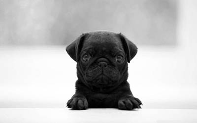 Black Pug Art Print by Sumit Mehndiratta