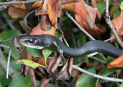 Photograph - Black Racer Snake Stare Down by Carol Groenen