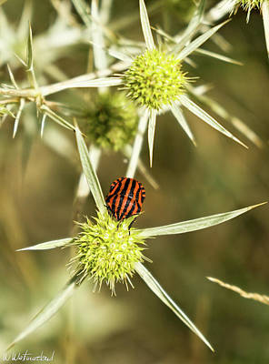 Photograph - Black Red Shield Bug by Weston Westmoreland