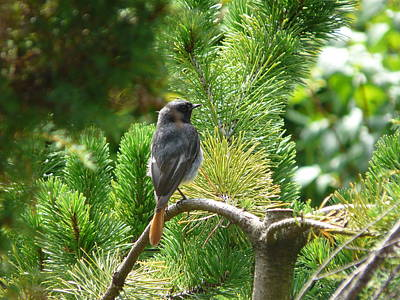 Photograph - Black Redstart by Valerie Ornstein
