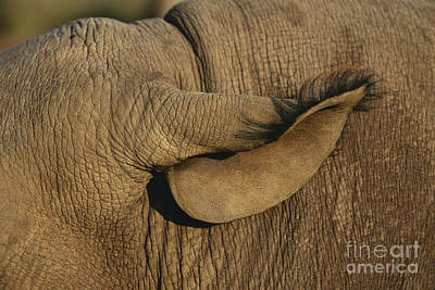 Photograph - Black Rhinoceros Ear by Nigel J. Dennis