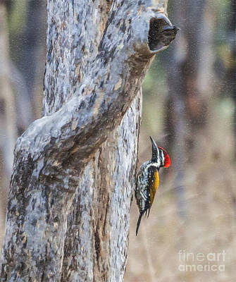 Digital Art - Black-rumped Flameback Aka Lesser Goldenback by Liz Leyden