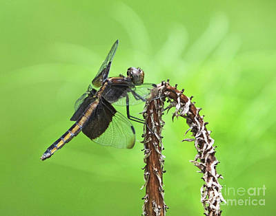 Photograph - Widow Skimmer  4 by Lizi Beard-Ward