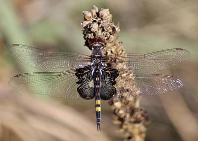 Photograph - Black Saddlebags by David Pickett