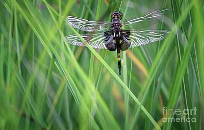 Photograph - Black Saddlebags Skimmer Dragonfly by Karen Adams