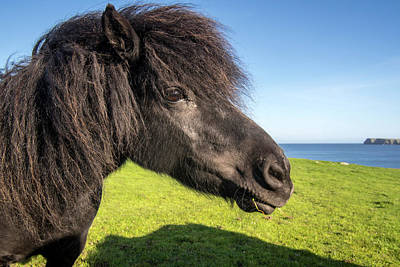 Photograph - Black Shetland Pony by Arterra Picture Library