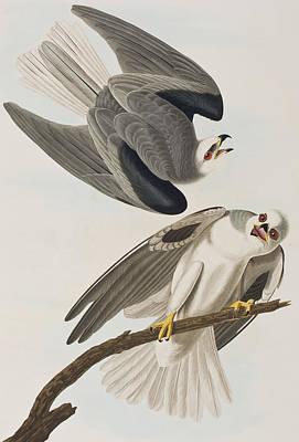Kite Drawing - Black Shouldered Elanus by John James Audubon