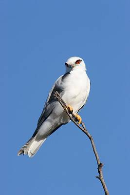 Photograph - Black-shouldered Kite  by Tony Brown