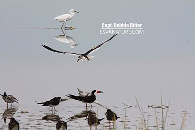 Photograph - Black Skimmer 3279 by Captain Debbie Ritter
