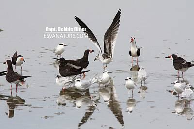 Photograph - Black Skimmer 3339 by Captain Debbie Ritter