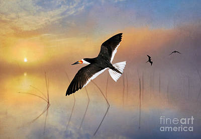 Black Skimmers Photograph - Black Skimmer At Sunset by Laura D Young