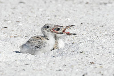 Photograph - Black Skimmer Chicks by Phil Stone