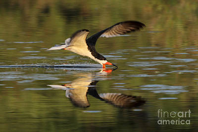 Photograph - Black Skimmer Fishing by Meg Rousher