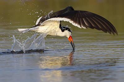 Black Skimmers Photograph - Black Skimmer by Janet Fikar