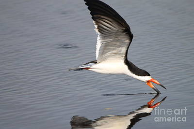 Photograph - Black Skimmer And Reflection by Kathy Gibbons
