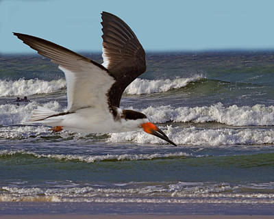 Black Skimmers Photograph - Black Skimmer by Larry Linton