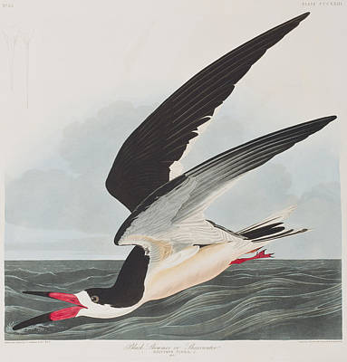 Wings Drawing - Black Skimmer Or Shearwater by John James Audubon