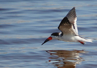 Photograph - Black Skimmer. Rynchops Niger. by Steven Scott