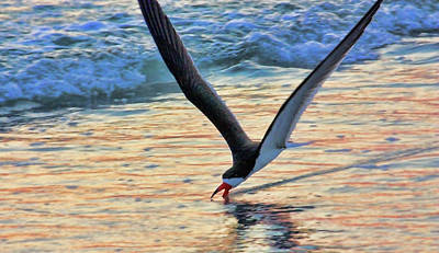 Photograph - Black Skimmer Skimming by HH Photography of Florida