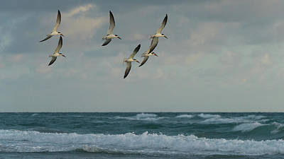 Photograph - Black Skimmer Soar Over Surf Delray Beach Florida by Lawrence S Richardson Jr