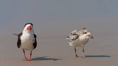 Photograph - Black Skimmers Adult And Chick by Paul Rebmann