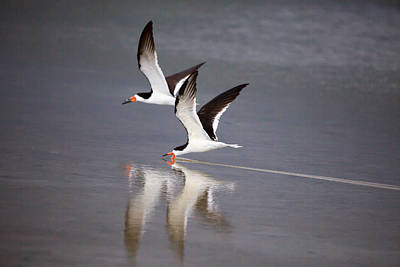 Bird Photograph - Black Skimmers by J Darrell Hutto
