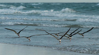Photograph - Black Skimmers Fishing Delray Beach Florida by Lawrence S Richardson Jr