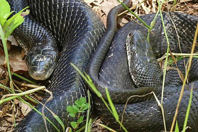 Photograph - Black Snakes Up Close by Bill Jordan