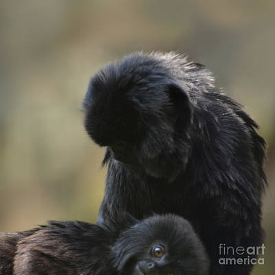 Photograph - Black Spider Monkeys Grooming by Paul Davenport